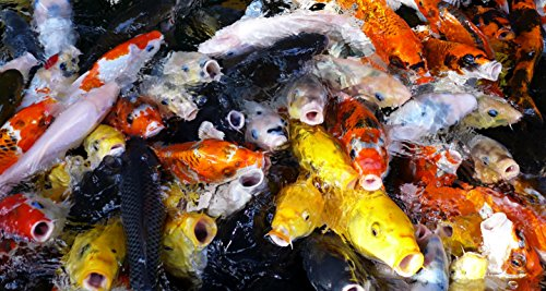 Chalily Live Koi Pond Fish - Lot of 50 Standard Fin Grade A Quality Koi (2-3 inch)