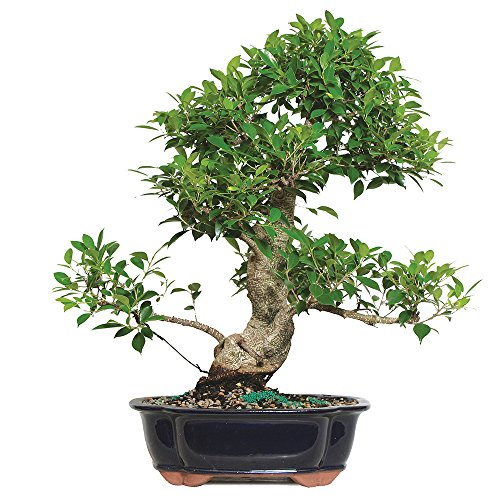 Brussel's Golden Gate Ficus Specimen Bonsai by Brussel's Bonsai