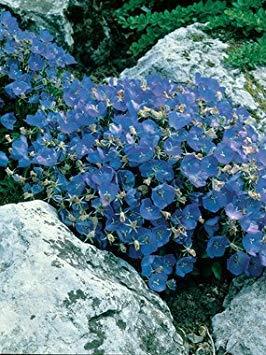 - PlenTree Campanula - Carpatica Blue Clips - 25 Perennial Seeds-Ground Cover