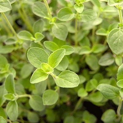 """500 Seeds, Oregano """"Italian"""" (origanum vulgare) Seeds By Seed Needs"""