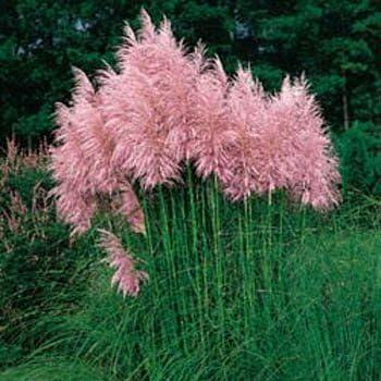 2000X Cute Pampas Grass Seeds Ornamental Plant Flowers Cortaderia Selloana Grass