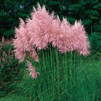 Outsidepride Pampas Grass Seeds Pink - 5000 - Seed Grass Ornamental