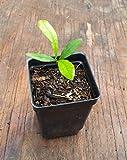 Miracle Berry Fruit Tree Seedling Synsepalum dulcificum