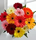 Heirloom NON GMO Gerbera Daisy Mix 25 Seeds
