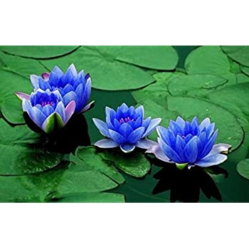 10 red lotus sacred water lily lily pad asian water lotus nymphaea flower seeds aquatic plant sapphire dwarf lotus flower 5 seeds indooroutdoor mightylinksfo
