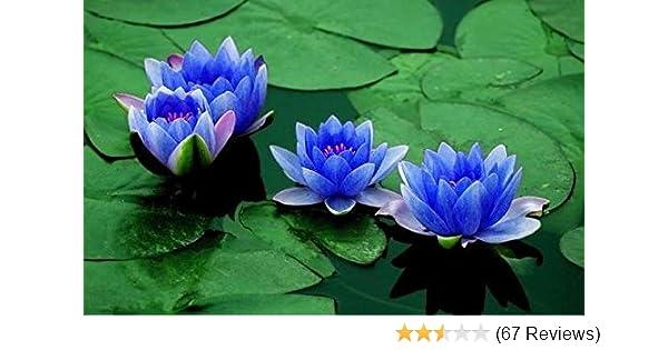 Amazoncom Aquatic Plant Sapphire Dwarf Lotus Flower 5 Seeds