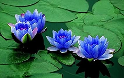 Amazon aquatic plant sapphire dwarf lotus flower 5 seeds aquatic plant sapphire dwarf lotus flower 5 seeds indooroutdoor mightylinksfo