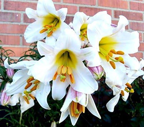 bulbo//tub/érculo//ra/íz Azucenas Lily Regale Album Lirios Lilium