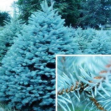 ASTONISH SEEDS: : Las semillas 50 semillas raras de árboles de hoja perenne de Colorado Spruce PA buena para el cultivo en macetas macetas de marihuana