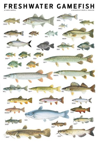 Freshwater Gamefish Of North America Poster Tomelleri Joseph R 9780982510230 Amazon Com Books