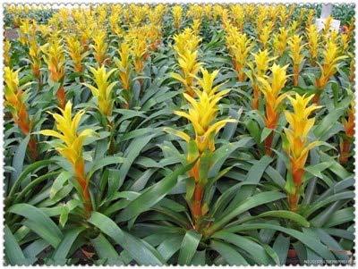 Shopvise 200 Pcs Cactus Bromeliad Rare Colorful Flower Plant Courtyard Mini Plant Succulent DIY Home Garden: 20