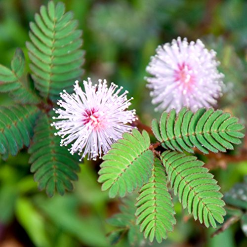 (Mimosa, Sensitive Plant seeds - Mimosa pudica)