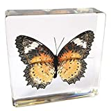 """Butterfly Paperweight Insect Bug Collection Specimen Taxidermy(3x3x1"""")"""
