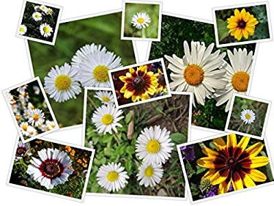 Oopsie Daisies Flower Mix by RDR Seeds With 10 Different Kinds of Daisies