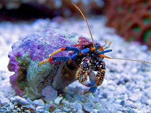 25-blue-leg-reef-hermit-crabs-for-saltwater-reef-aquarium-live-crab-fish-tank