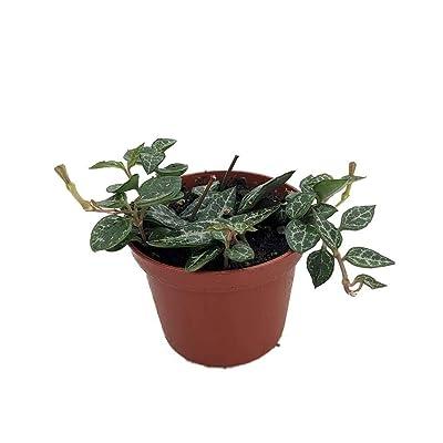 "AchmadAnam - 2.5"" Pot - String of Heartless Vine - Ceropegia linearis woodiii : Garden & Outdoor"