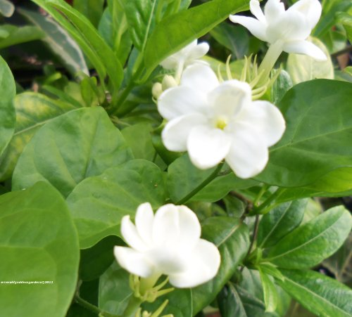 MAID OF ORLEANS Arabian Sambac Jasmine Live Plant Fragrant Single White Flowers Starter Size 4 Inch Pot Emeralds tm by Emerald Goddess Gardens TM