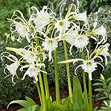 2 Bareroot Ismene Lily/ Peruvian Daffodil/ Spider Lily