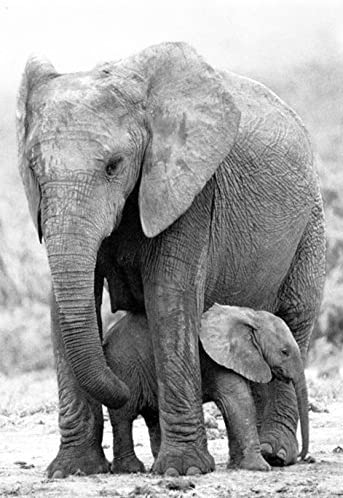 Amazon Com Mother And Baby Elephant Poster Elephants Love Prints Posters Prints