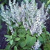 "Clary ""SALVIA Sclarea"" 25+Biennual Herb Seeds"