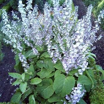 Clary Sage Seeds - Outsidepride Clary - 1000 Seeds