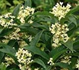 Fragrant Tea Olive (Osmanthus) - Live Plant - Trade Gallon Pot