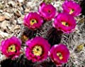 Echinocereus engelmannii flowering rare cactus flower bulb cacti seed 100 SEEDS
