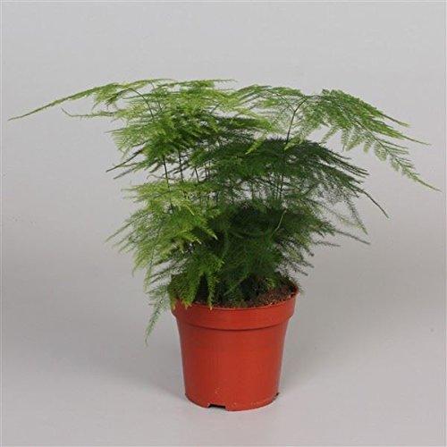 Asparagus Plumosus House Plant in a 13cm Pot. Asparagus Fern Perfect Plants
