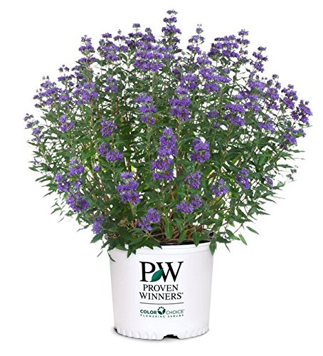 Proven Winners - Caryopteris X cland. Beyond Midnight (Bluebeard) Shrub, , #2 - Size Container by Green Promise Farms