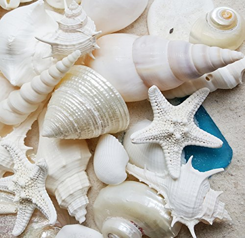 Tumbler Home White Seashells with Sea Glass - Home Decor Wedding Luxury Sea Shell Mix, Christmas or Crafts - 30+ Shells (Shell Strombus)
