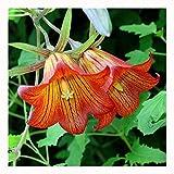 200 Campanula (Abutilon striatum Dickson) Medium Seeds ~Chris's garden