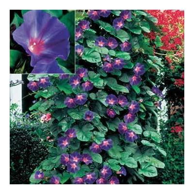 Park Seed Star of Yelta Morning Glory Flower Seeds : Garden & Outdoor