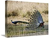 Wall Art Print entitled Peacocks In A Field Bandhavgarh National Park Uma by Panoramic Images | 48 x 32