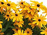 Black Eyed Susan Seeds - Rudbeckia Hirta - Attracts Butterflies 10,000 Seeds
