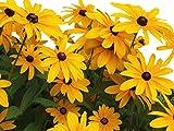 Black Eyed Susan Seeds - Rudbeckia Hirta - Attracts Butterflies 10,000 Seeds