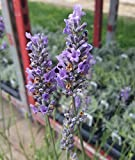 Findlavender - 'Provence' French Lavender - Potted - Very Fragrant - 1Qt. Size Pot
