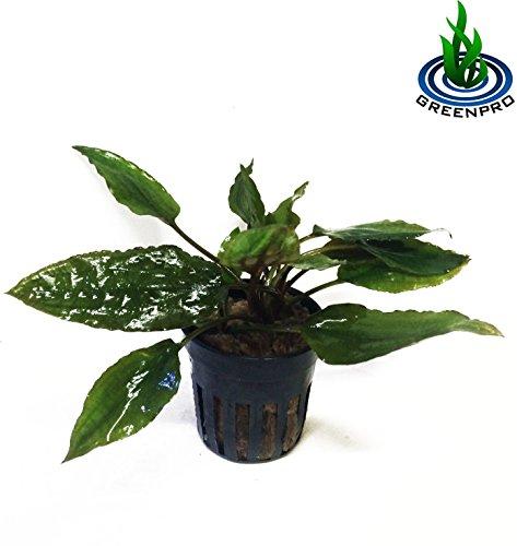 Greenpro Cryptocoryne Usteriana RED Crypt растение в горшке для аквариума Пресноводный аквариум