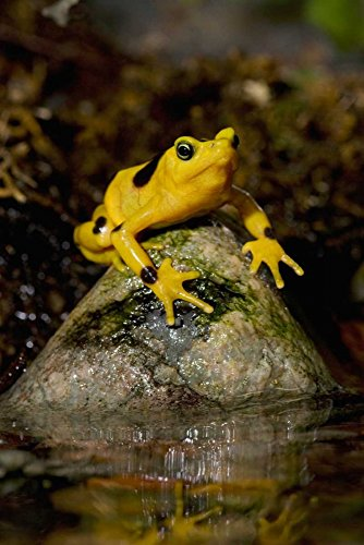 Panamanian Golden Frog native to Panama Poster Print by San Diego Zoo (12 x 18) (Panamanian Golden Frog)