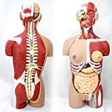 TDTYK 4D Anatomical Assembly Model of Human Organs