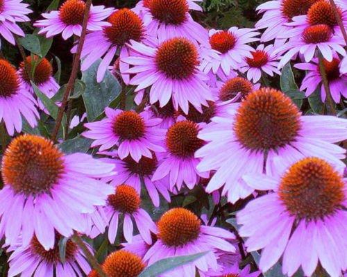 Heirloom Cone - Flower Seeds - 400 Seeds of Cone flower Seeds Purple Bulk Seeds Heirloom Wildflower Perennial Seeds
