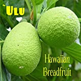 ~ULU~ BREADFRUIT Artocarpus Ancient HAWAIIAN Canoe Plant 12-24inch potted plant