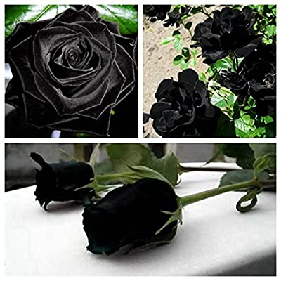 100 PCS Black Rose Seeds Rare Amazingly Beautiful Black Rose Flower