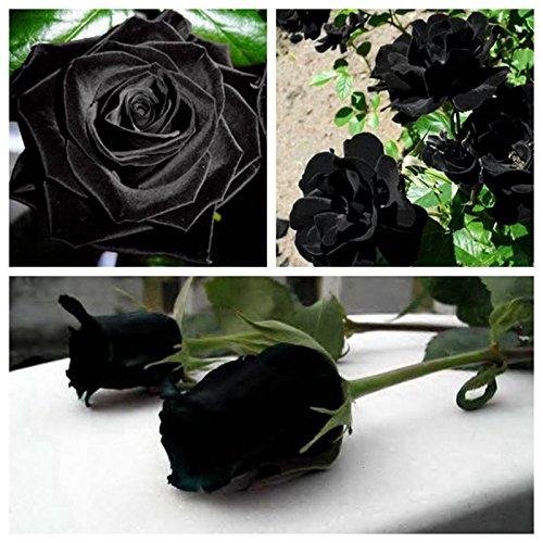 100 PCS Black Rose Seeds Rare Amazingly Beautiful Black Rose Flower