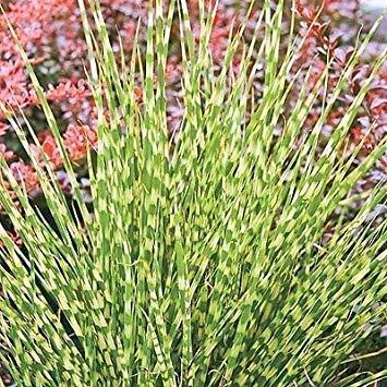 Miscanthus sinensis Zebrinus - Zebra Grass 3 Plants in 9cm Pots