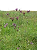 Seeds of Greater Knapweed - Centaurea Scabiosa - 300 Seeds Pack