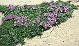 Elfin Thyme Plant - Thymus Minus - World's Smallest Thyme - Gallon Pot