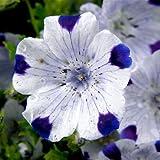 Nemophila maculata heavy bloomer seeds (flower seeds Five spot) - 50 seeds