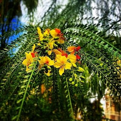 Sheath Foliage - Parkinsonia Aculeata 20 Seeds, Mexican Palo Verde, Jerusalem Thorn