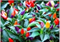"Pepper, Chilli, 20 Seeds, ""Bolivian Rainbow"" Chili Pepper(C. Annuum) Heirloom"