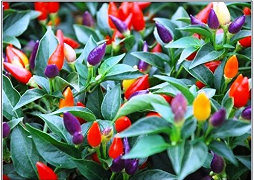 Pepper Seeds 20 (Pepper, Chilli, 20 Seeds,